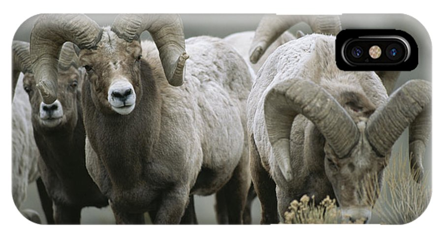 North America IPhone X / XS Case featuring the photograph A Group Of Bighorn Sheep Rams by Tom Murphy