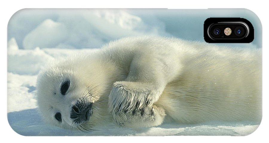 Animals IPhone X / XS Case featuring the photograph A Harp Seal Pup Lies On Its Side by Norbert Rosing