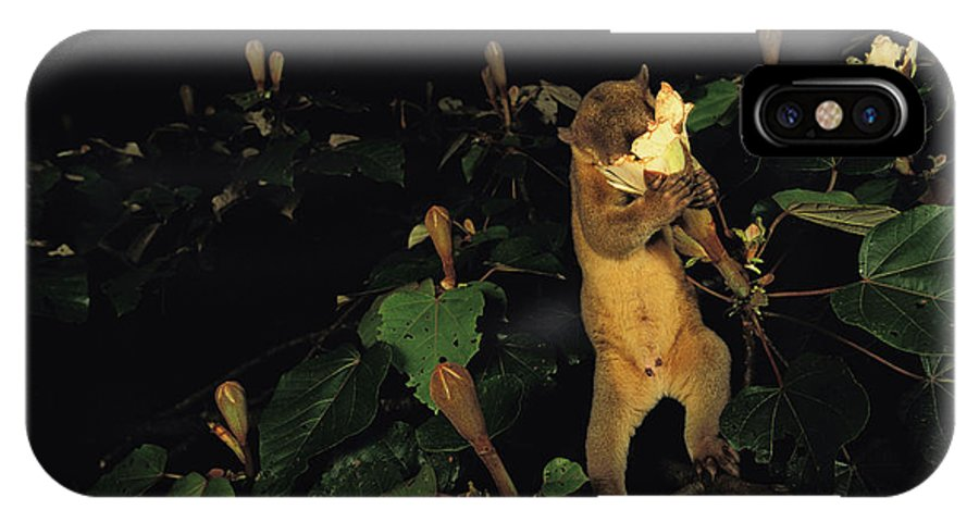 Outdoors IPhone X Case featuring the photograph A Kinkajou Drinks Deeply Of Balsa by Mattias Klum