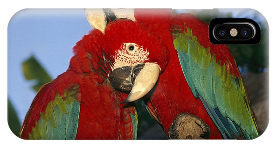 North America IPhone X / XS Case featuring the photograph A Pair Of Captive Red-and-green Macaws by Richard Nowitz