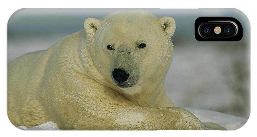 North America IPhone X / XS Case featuring the photograph A Polar Bear, Ursus Maritimus, Lounges by Norbert Rosing