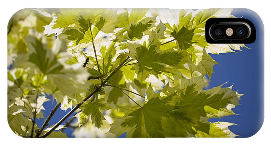 Norway Maple IPhone X / XS Case featuring the photograph Acer Platanoides 'drummondii' by Dr Keith Wheeler