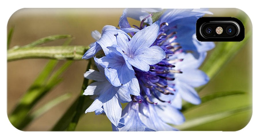 Centaurea Cyanus IPhone X / XS Case featuring the photograph Bachelor Button Blowin In The Wind by Kathy Clark