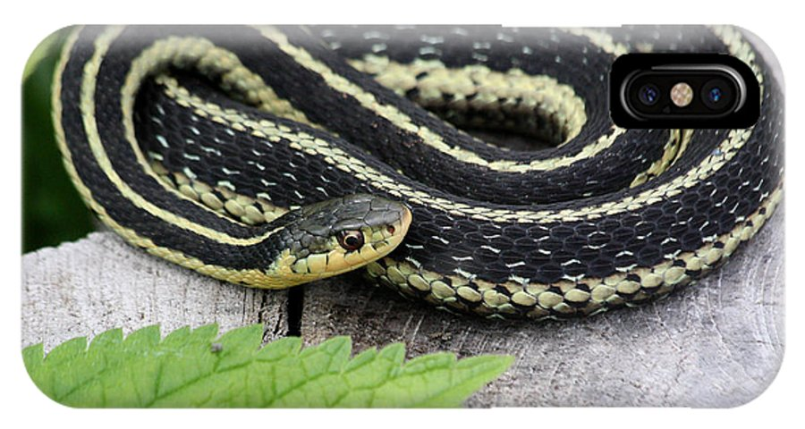 Garter Snake IPhone X Case featuring the photograph Basking by Doris Potter