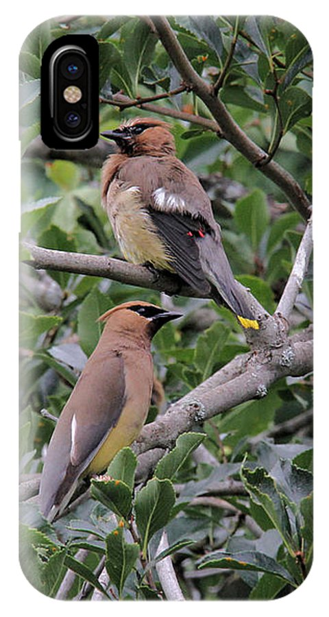Cedar Waxwings IPhone X / XS Case featuring the photograph Before And After by Doris Potter