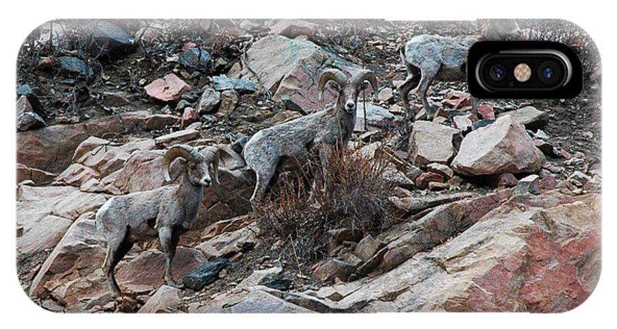 Colorado IPhone X Case featuring the photograph Big Horn Sheep3 by Kimberlee Fiedler
