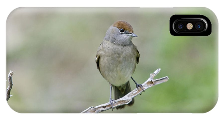 Animal IPhone X Case featuring the photograph Blackcap Sylvia Atricapilla by Perry Van Munster