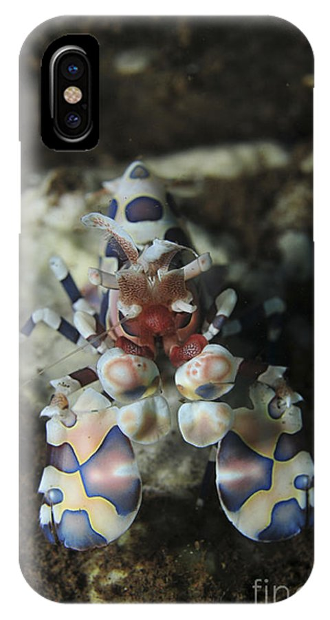 Macro IPhone X Case featuring the photograph Blue Spotted Harlequin Shrimp, Bali by Mathieu Meur