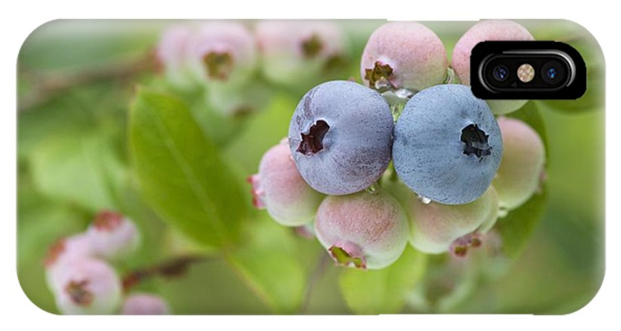 Vaccinium Sp. IPhone X Case featuring the photograph Blueberries (vaccinium Sp.) by Lawrence Lawry