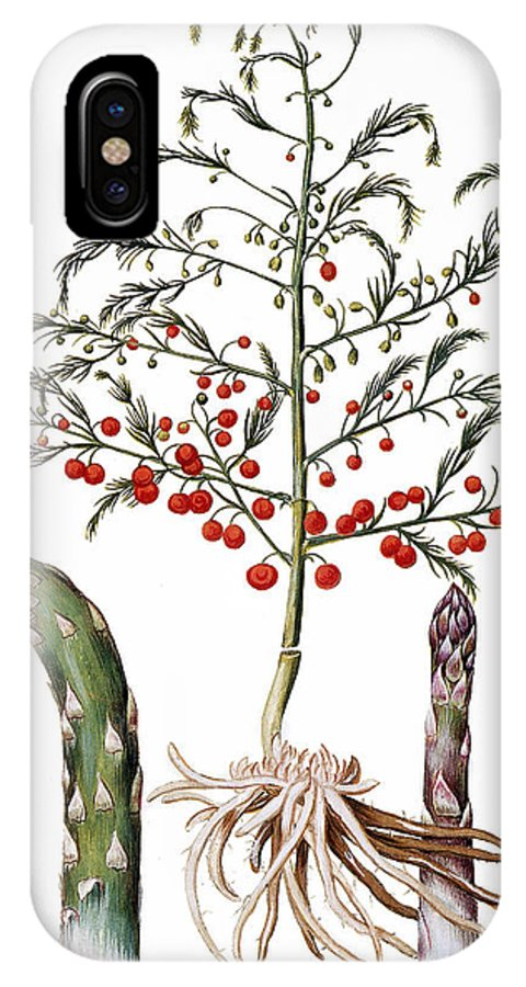 1613 IPhone X Case featuring the photograph Botany: Asparagus, 1613 by Granger