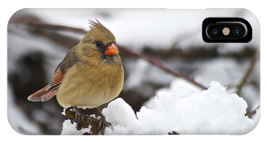 Adult IPhone X Case featuring the photograph Cardinal Female 3679 by Michael Peychich