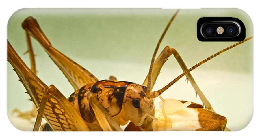 Orthopteran IPhone X Case featuring the photograph Cave Cricket Eating an Almond 7 by Douglas Barnett