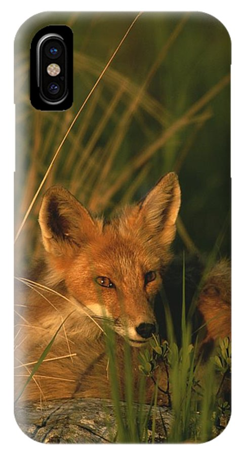 North America IPhone X / XS Case featuring the photograph Close View Of A Red Fox At Rest by Roy Toft