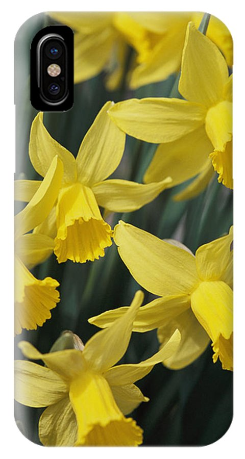 North America IPhone X / XS Case featuring the photograph Close View Of Early Spring Daffodils by Darlyne A. Murawski
