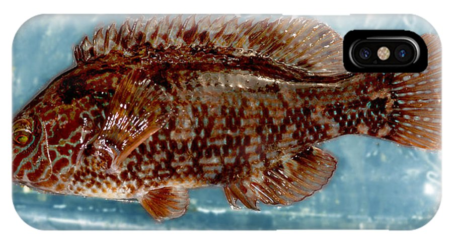 Symphodus Melops IPhone X / XS Case featuring the photograph Corkwing Wrasse by Dr Keith Wheeler