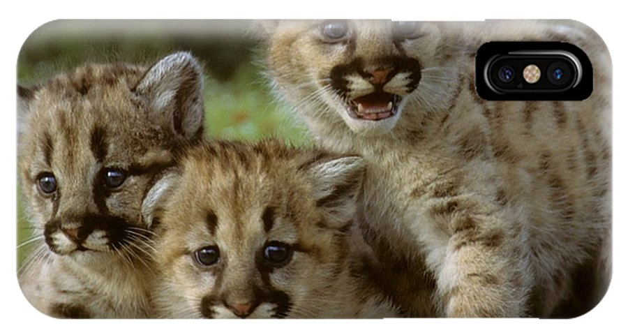 Cougar IPhone X Case featuring the photograph Cougar Cubs On A Rock by Larry Allan