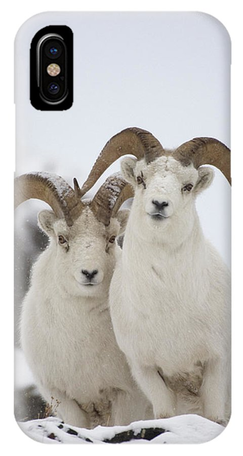 Mp IPhone X Case featuring the photograph Dall Sheep Ovis Dalli Rams, Yukon by Michael Quinton