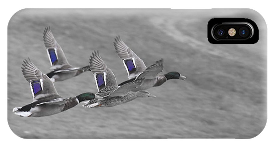Ducks In Flight IPhone X / XS Case featuring the photograph Ducks In Flight V1 by Douglas Barnard