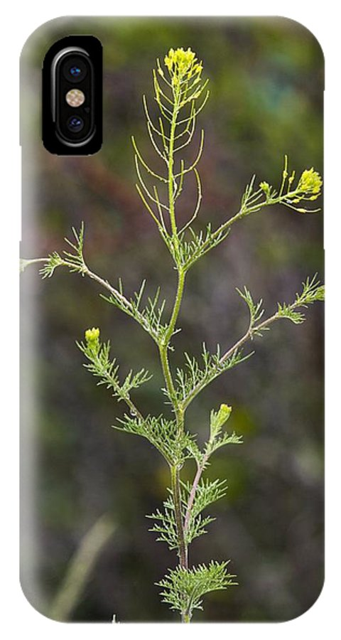 Fixweed IPhone X Case featuring the photograph Fixweed (descurainia Sophia) by Bob Gibbons