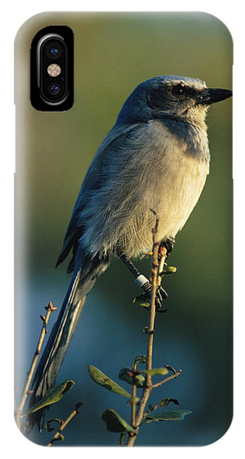 Animals IPhone X / XS Case featuring the photograph Florida Scrub Jay Aphelocama by Joel Sartore