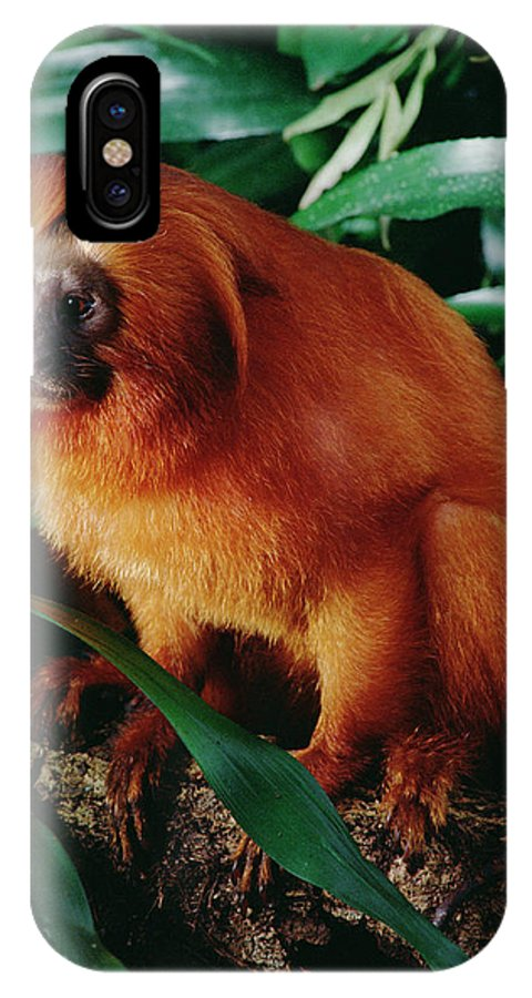 Mp IPhone X Case featuring the photograph Golden Lion Tamarin Leontopithecus by Claus Meyer