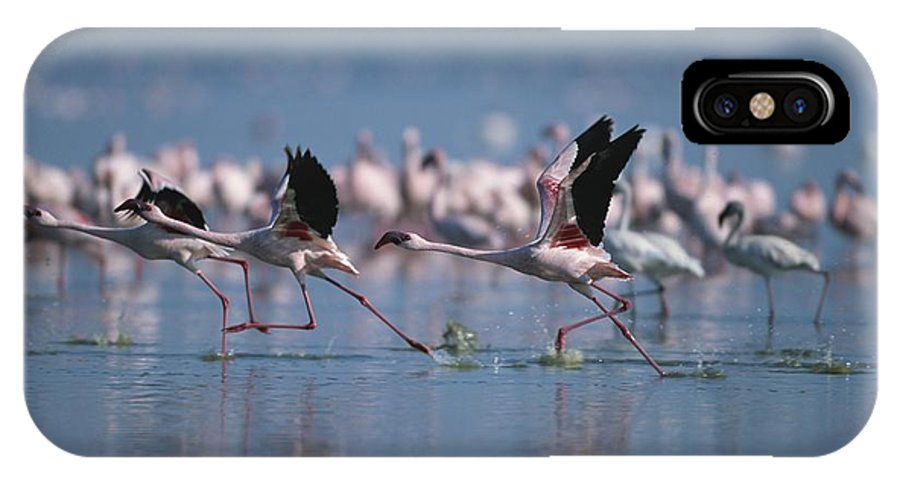 Africa IPhone X / XS Case featuring the photograph Greater Flamingos Run Through Shallow by Roy Toft
