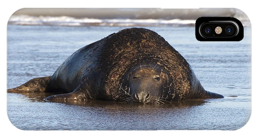 Halichoerus Grypus IPhone X Case featuring the photograph Grey Seal Bull by Denise Swanson