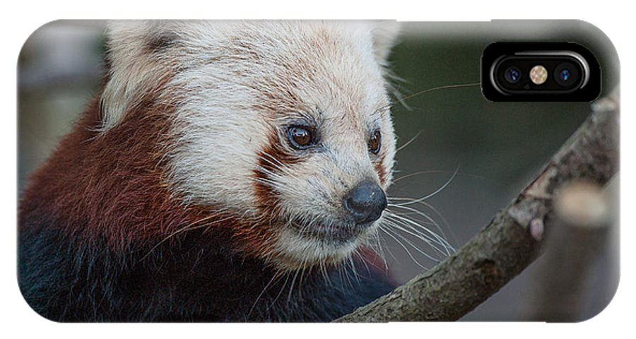 Red Panda IPhone X Case featuring the photograph Grimacing Red Panda by Greg Nyquist