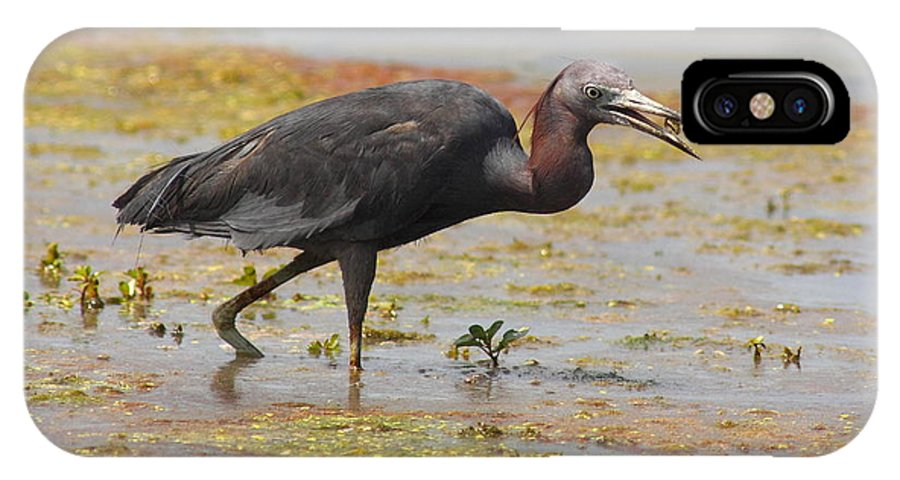 Wildlife IPhone X Case featuring the photograph Little Blue Heron In Swamp by Robert Frederick