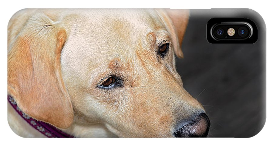 Animal; Retriever; Golden; Dog; Pet; Canine; Purebred; Mammal; Pedigree; Domestic; Breed; Cute; Background; Friend; Doggy; Fur; Beige; Labrador; Looking; Blond; Friendly; Adorable; Yellow; Sweet; Companion IPhone X Case featuring the photograph Looking For Trouble by Susan Leggett