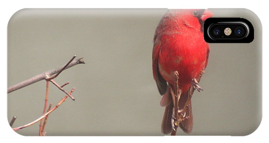 Cardinal IPhone X Case featuring the photograph Male Cardinal On A Branch by Laurel Talabere