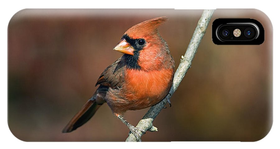 Male IPhone X / XS Case featuring the photograph Male Northern Cardinal - D007813 by Daniel Dempster