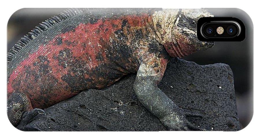 Amblyrhynchus Cristatus IPhone X Case featuring the photograph Marine Iguana by Bob Gibbons