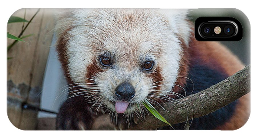 Red Panda IPhone X Case featuring the photograph Mischievious Red Panda by Greg Nyquist