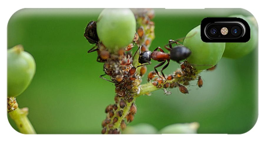 Ants IPhone X Case featuring the photograph Mutualistic by Susan Capuano