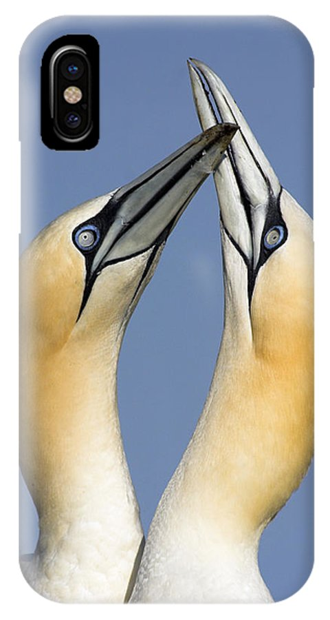 Fn IPhone X Case featuring the photograph Northern Gannet Morus Bassanus Pair by Jasper Doest