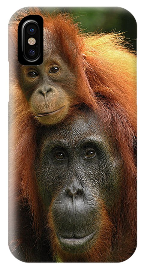 Mp IPhone X Case featuring the photograph Orangutan Pongo Pygmaeus Female by Thomas Marent