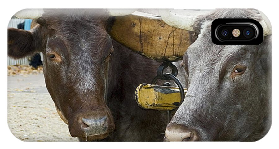 2 Oxen Walk Duke Of Glouster Street IPhone X / XS Case featuring the photograph Oxen Pair by Sally Weigand