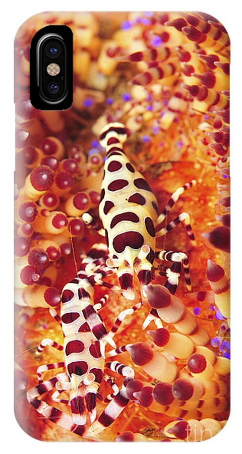 Macro IPhone X Case featuring the photograph Pair Of Coleman Shrimp On A Red by Mathieu Meur