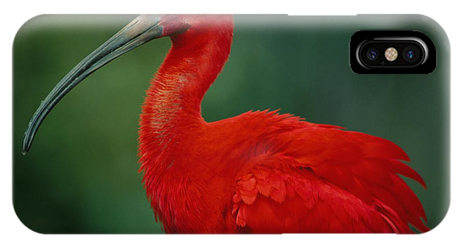 Animals IPhone X / XS Case featuring the photograph Portrait Of A Captive Scarlet Ibis by Joel Sartore