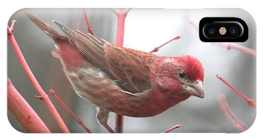 Bird IPhone X Case featuring the photograph Purple Finch by Angie Vogel