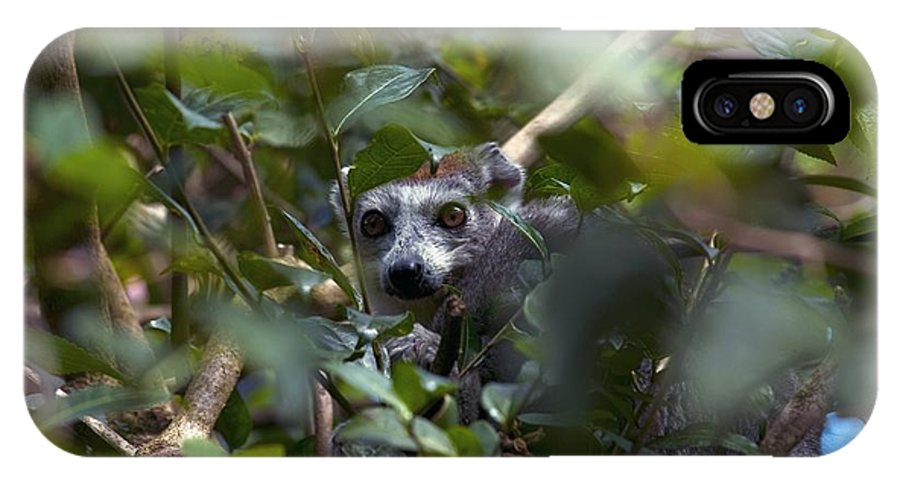 Alert IPhone X Case featuring the photograph Ring-tailed Lemur In A Tree by Alexis Rosenfeld