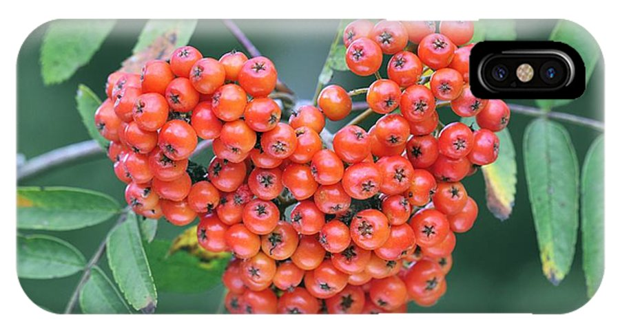 Mountain Ash IPhone X Case featuring the photograph Rowan Berries by Colin Varndell