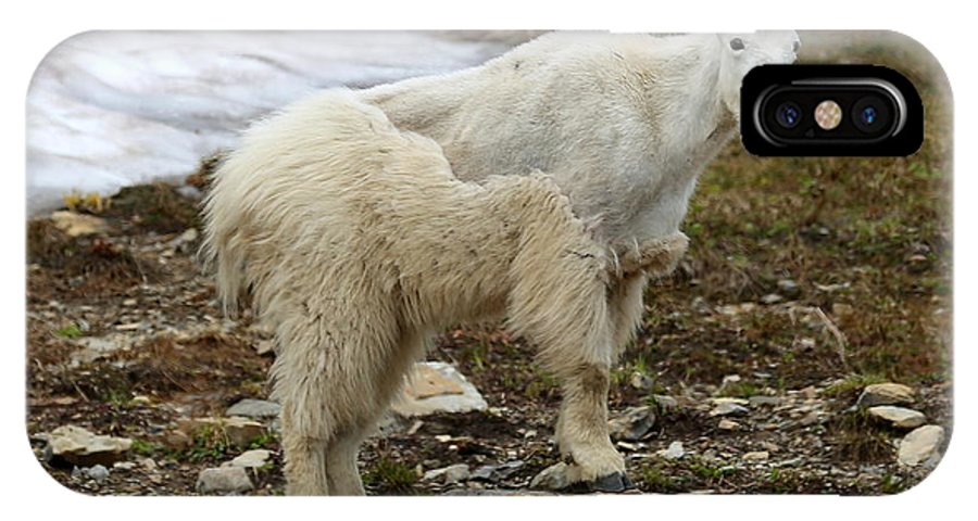 Animal IPhone X / XS Case featuring the photograph Shedding Mountain Goat by Carol Groenen