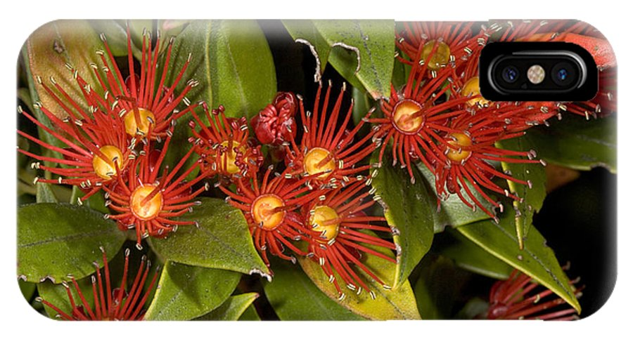 Rata IPhone X Case featuring the photograph Southern Rata (metrosideros Umbellata) by Bob Gibbons