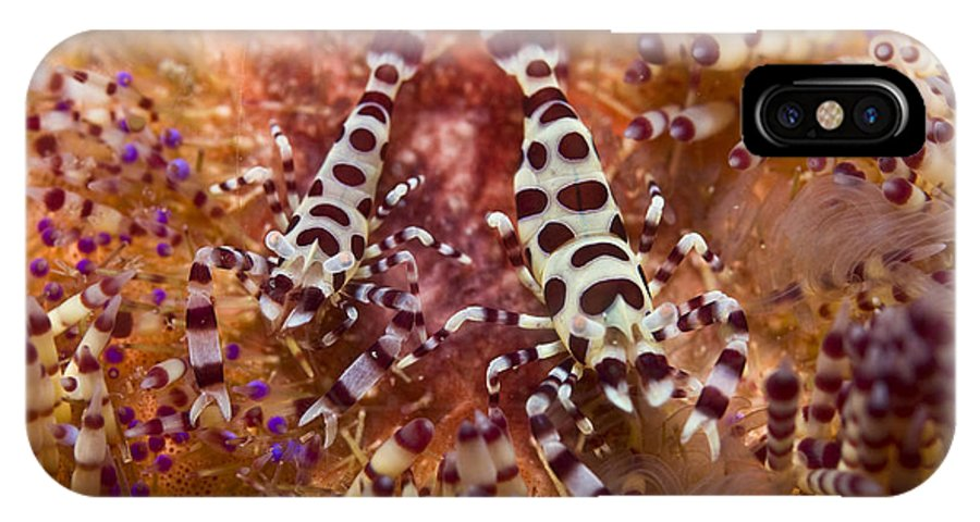 Macro IPhone X Case featuring the photograph Spotted Periclimenes Colemani Shrimp by Mathieu Meur