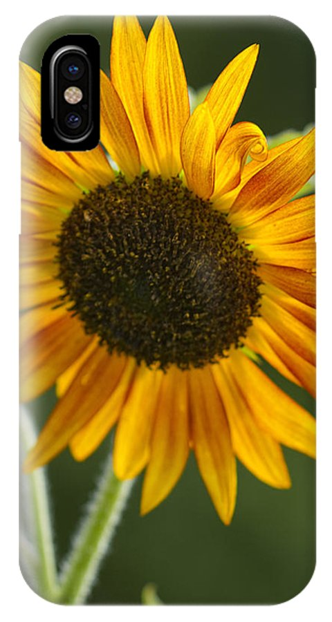 Sunflower IPhone X Case featuring the photograph Sunflower by Kathy Clark