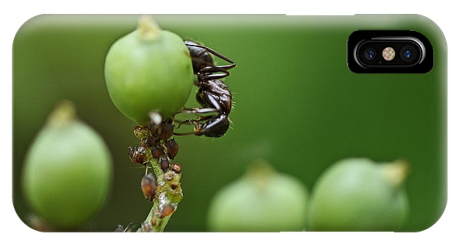 Ants IPhone X Case featuring the photograph Tending The Herd by Susan Capuano