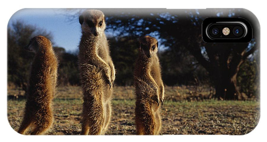 Africa IPhone X / XS Case featuring the photograph Three Meerkats With Paws Poised Neatly by Mattias Klum
