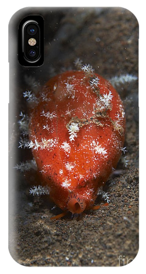 Macro IPhone X Case featuring the photograph Tiny Red Yellow And White Cowrie by Mathieu Meur